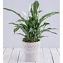 Spathiphyllum In Cement Pot: Plant Delivery in South Africa