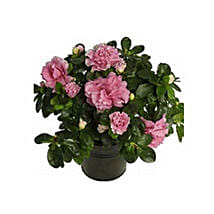 Azalea Plant: Christmas Gifts for Her to UAE
