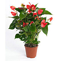 Red Anthurium Plant: Indoor Plants in UAE