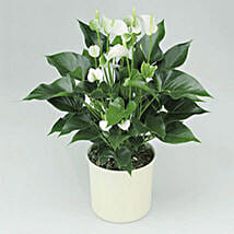 White Anthurium Plant: Send Mothers Day Plants to UAE