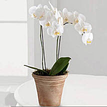 White Phalaenopsis Orchid Plant: Mother's Day Plants for UAE